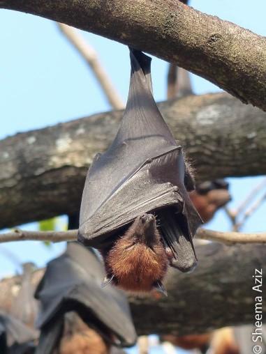 Pteropus hypomelanus