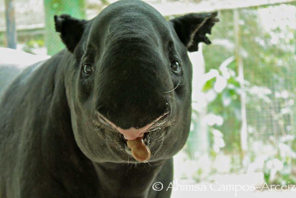 Captive tapir