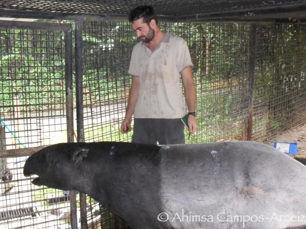 Tapir feeding experiment