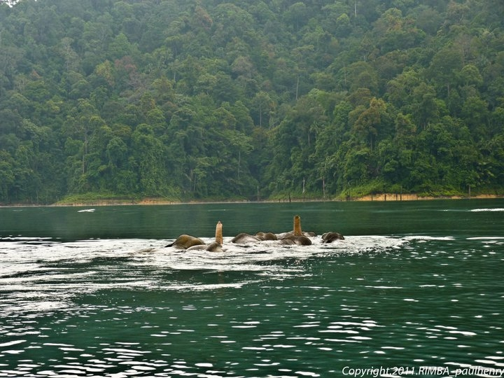 Elephants swimming in Tasik Kenyir