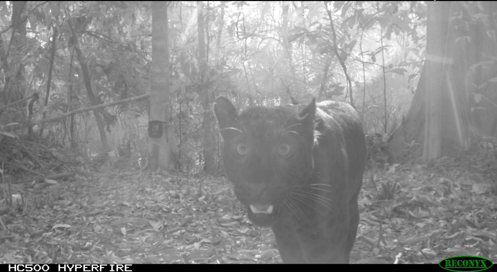A melanistic (i.e. black) leopard caught on a camera trap in the Kenyir Wildlife Corridor. © Laurie Hedges / Rimba