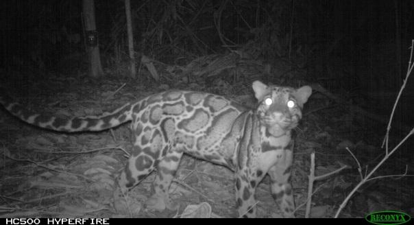 A curious clouded leopard