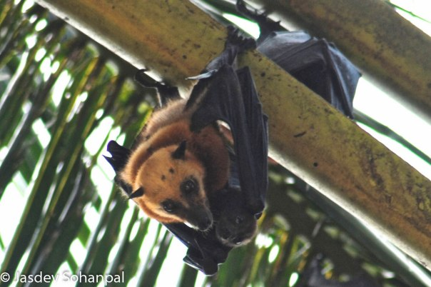 Mum and baby flying fox facing a precarious future on Tioman Island