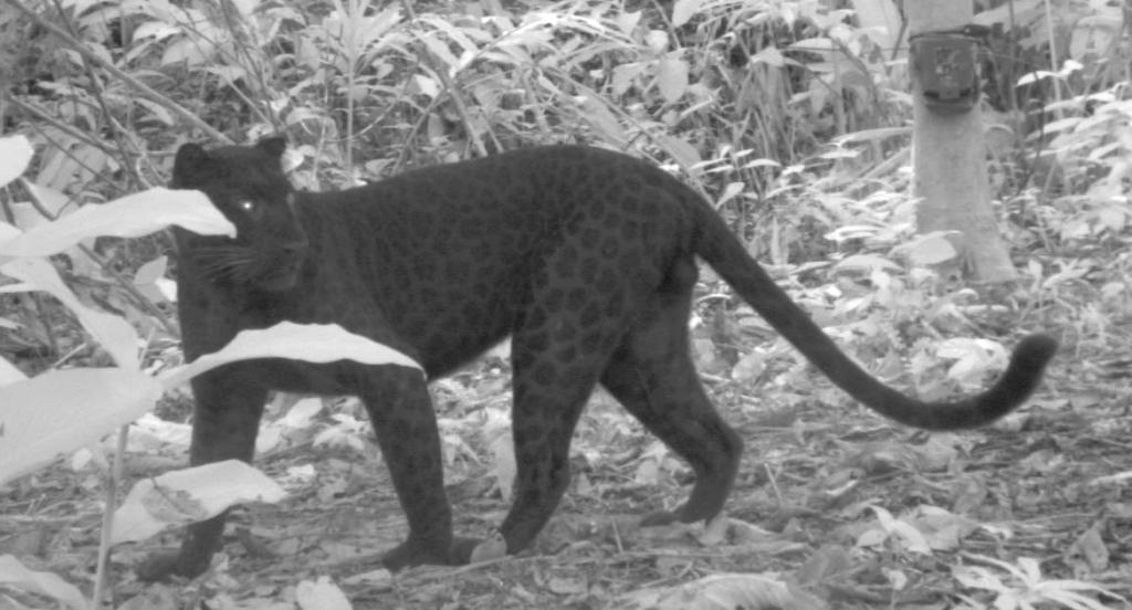 laurie_leopard