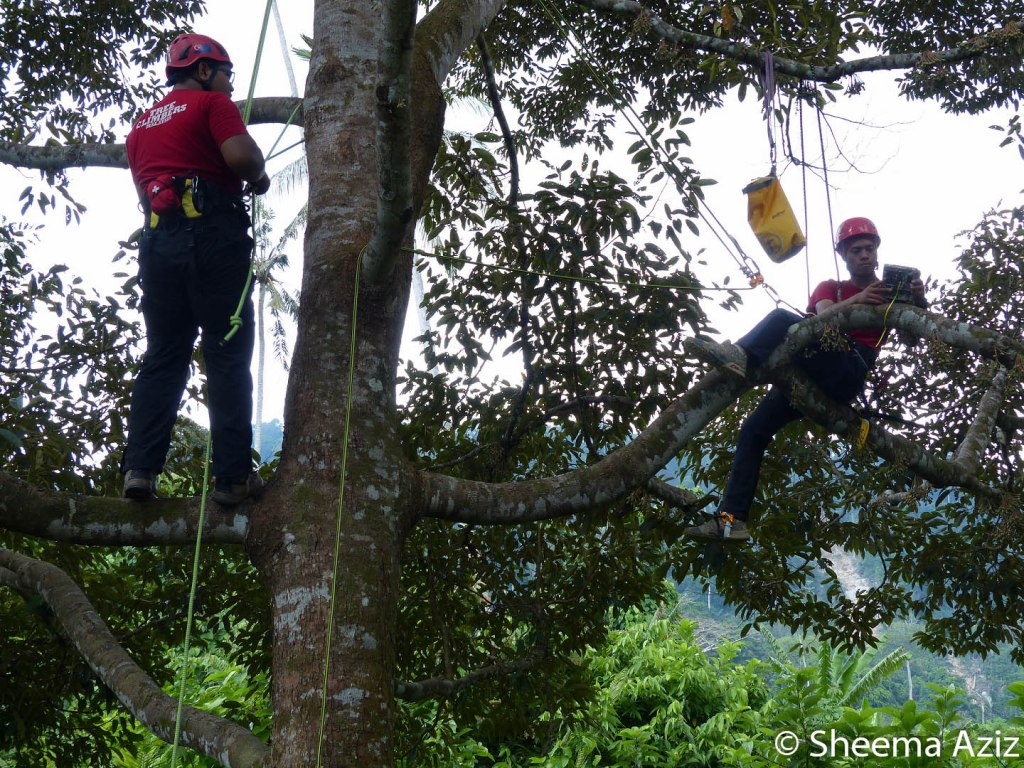 Putting camera/video traps up in durian trees require you to be nimble and flexible...