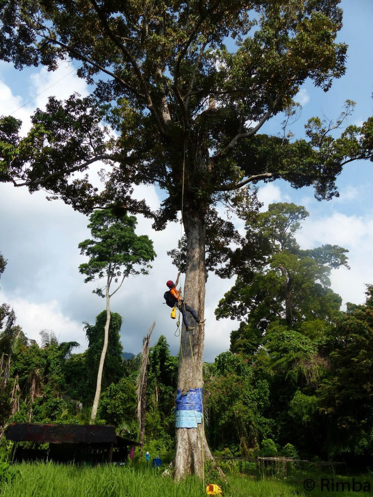 Once everything is in place and secured, Fizie makes the long climb all the way up the 90-year-old, 100-foot giant of the durian orchard