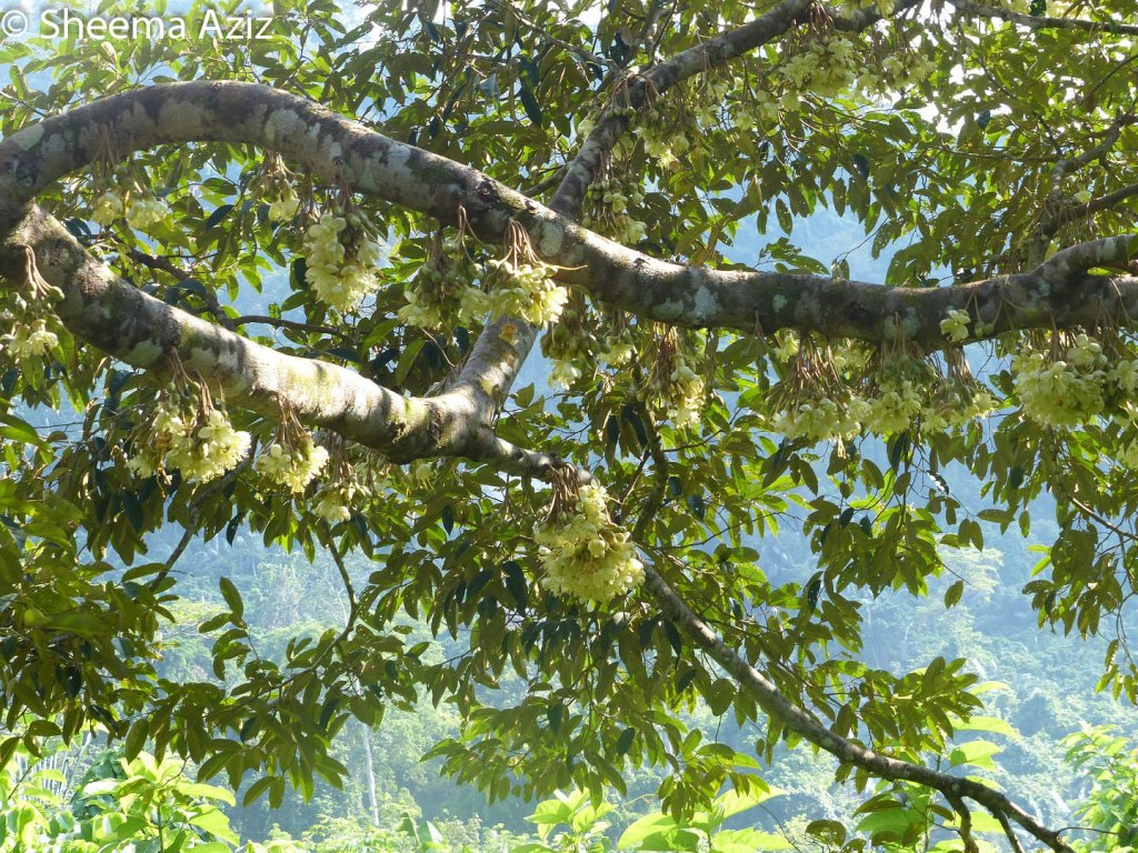When we came back again in early May, the durian trees were adorned with delicate light yellow flowers in bloom