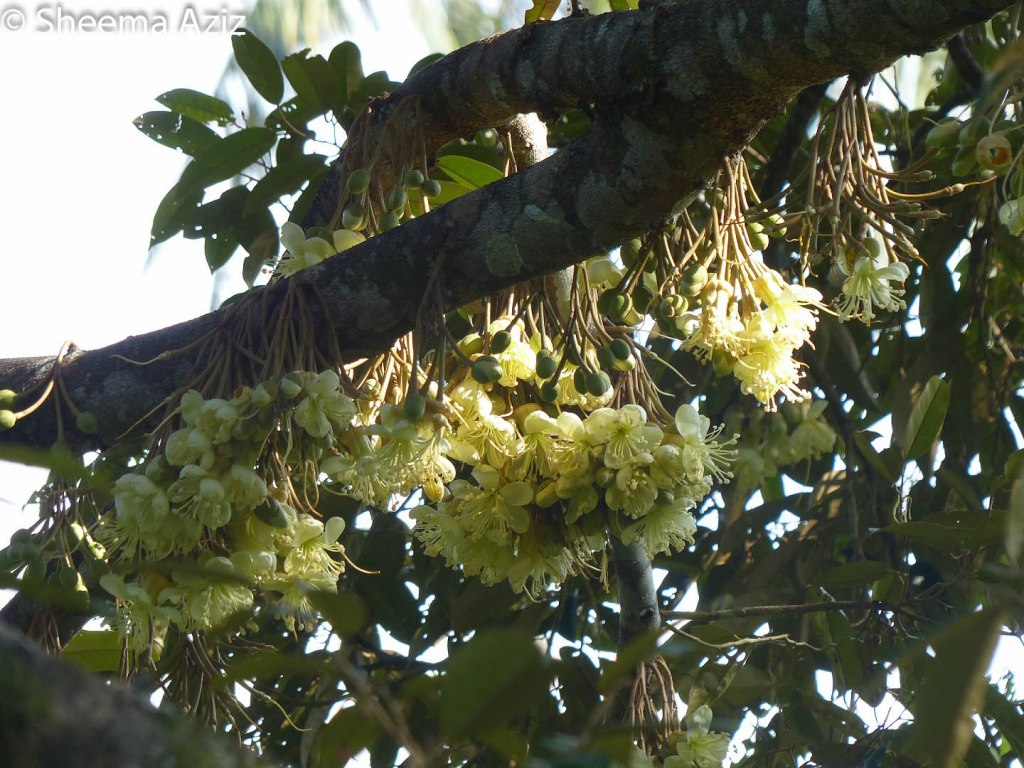 Beautiful bunches of blooming durian flowers